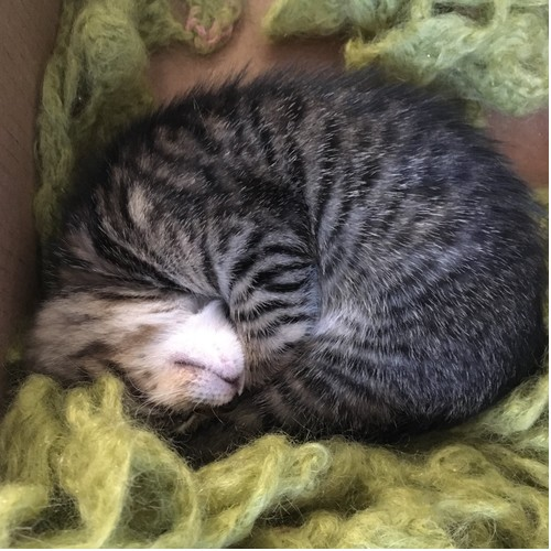 curled-up tabby kitten